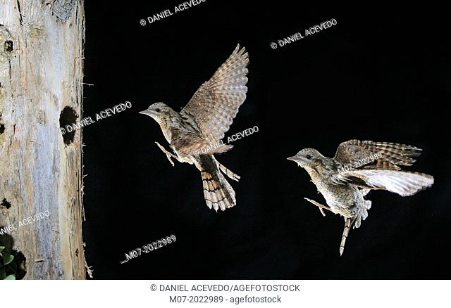 Eurasian Wryneck Jynx torquilla on flight coming to hole nest left by other woodpeckers