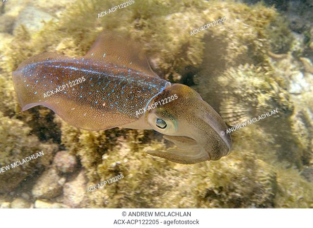 Caribbean Reef Squid (Sepioteuthis sepioidea), Cayman Brac, Cayman Islands, British West Indies