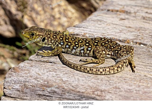 Timon lepidus, Lacerta lepida, Ocellated Lizard