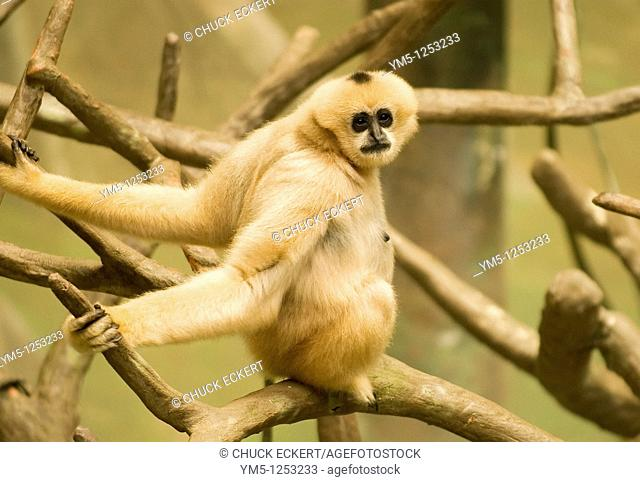 Young White Cheeked Gibbon staring at camera. Born this beige color, they turn black by age one to one and a half. (Nomascus leucogenys)