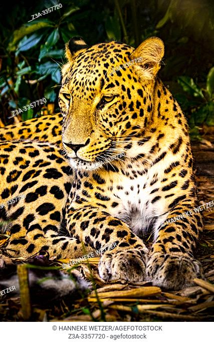 Leopard (Panthera pardus) resting in nature