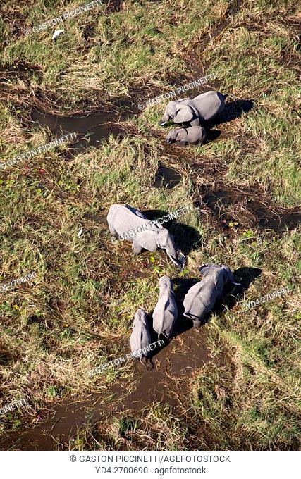African Elephants (Loxodonta africana), in the freshwater marsh, aerial view, Okavango Delta, Botswana. The Okavango Delta is home to a rich array of wildlife
