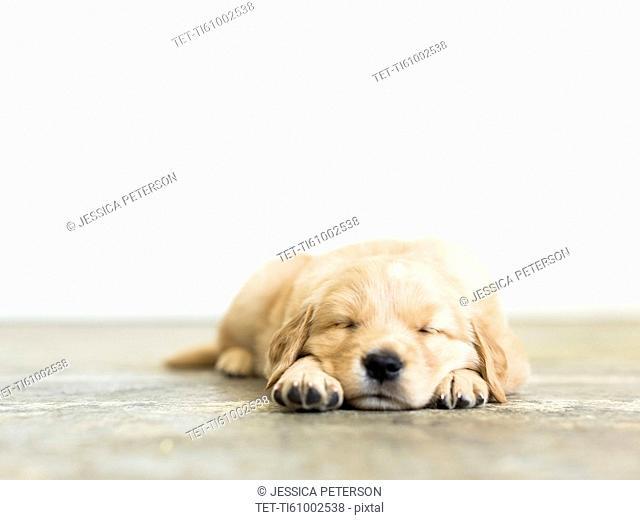 Portrait of puppy sleeping on wooden floor