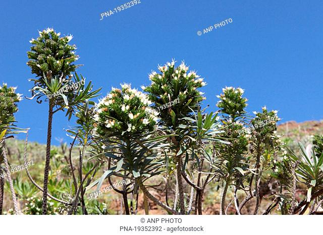 Tower of Jewels Echium wildpretii - Tenerife, Canary Islands, Spain, Europe