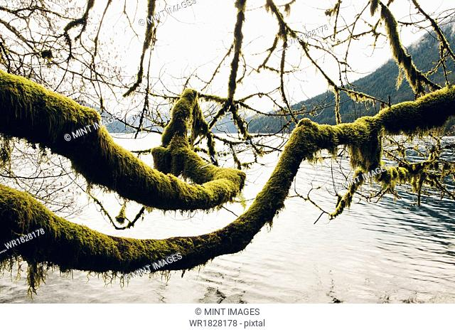 Moss covered alder tree branches, reaching across the water along the shores of Lake Crescent