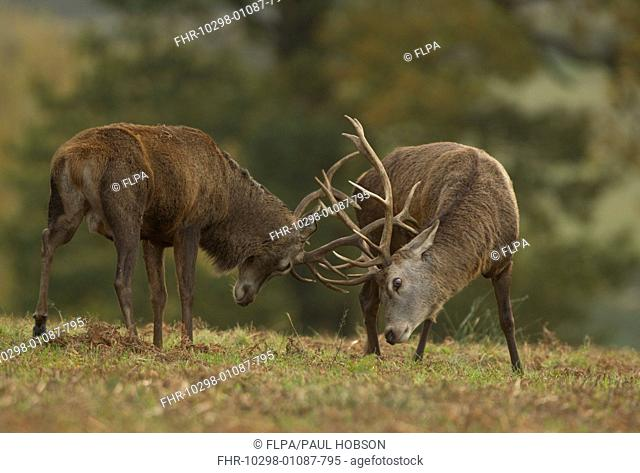 Red Deer (Cervus elaphus) two stags, fighting during rutting season, Bradgate Park, Leicestershire, England, October