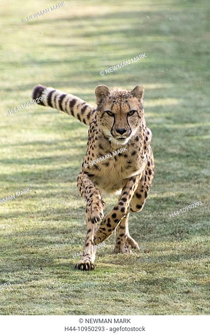 animal, cheetah, acinonyx jubatus, running, fast