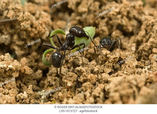 Transportation of seeds by workers of Messor barbarus to the nest to be processed, Spain