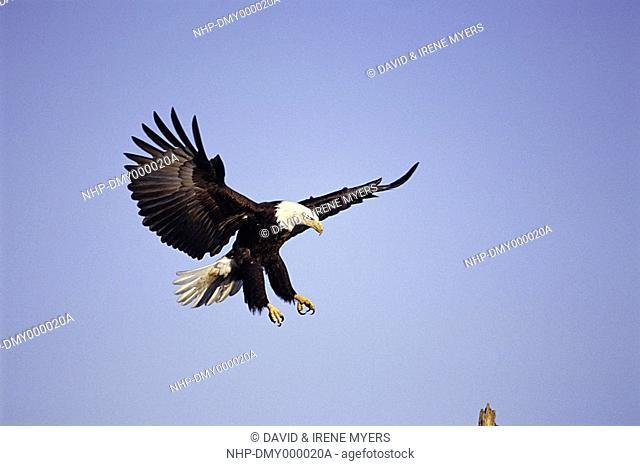 BALD EAGLE Haliaetus leucocephalus in flight, about to alight