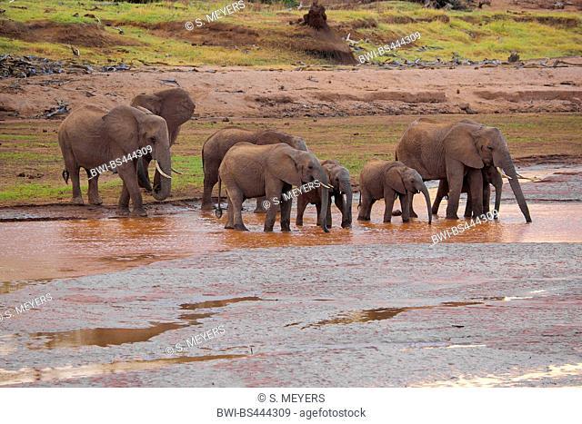 African elephant (Loxodonta africana), herd of elephants drinking in a river, Kenya, Samburu National Reserve