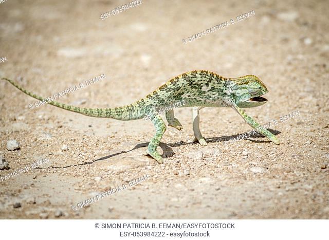 Flap-necked chameleon walking in the gravel in the Etosha National Park, Namibia