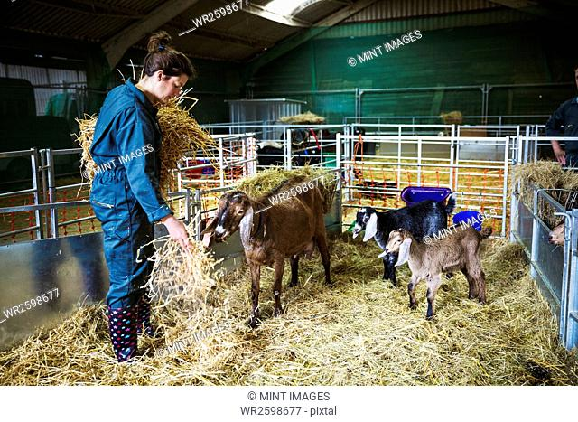 Woman in a stable with goats, scattering straw on the floor