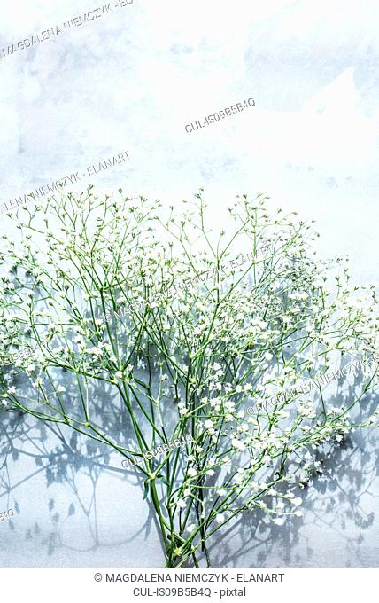 Gypsophila flowers, overhead view