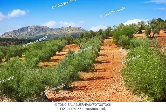 Castile La Mancha olive trees in Cuenca by Saint James Way of Levante Spain