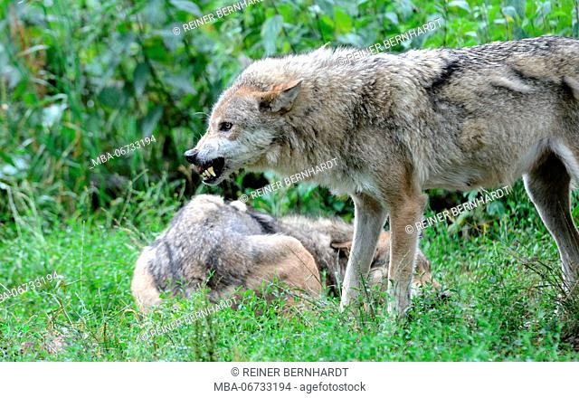 Wolves in a meadow, Canis lupus