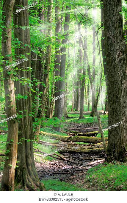 broadleaf forest in backlight with sunrays, Germany, Baden-Wuerttemberg, Ortenau