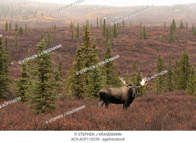 Bull Moose in autumn tundra, (Alces alces), Denali National Park, Alaska, USA