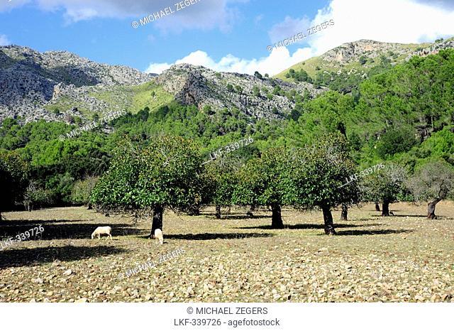 Trees in the valley La Valle d'en Marc outside Pollensa, Pollenca, Serra de Tramuntana, Mallorca, Majorca, Balearic Islands, Mediterranean, Spain, Europe
