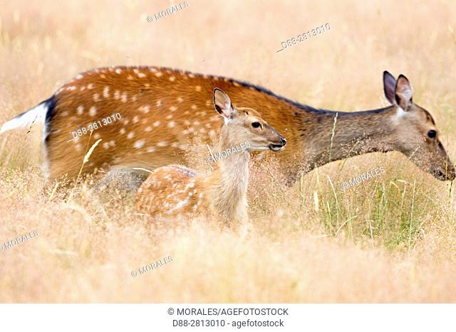 France, Haute Saone, Private park, Sika Deer (Cervus nippon), female and young