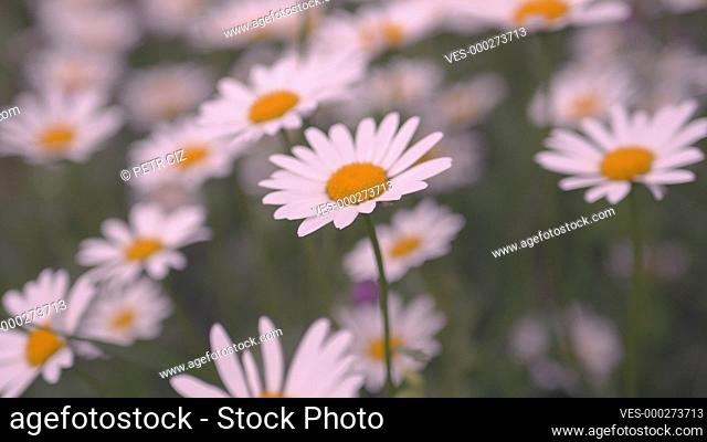 Wild beautiful daisies sway in wind at summer day footage