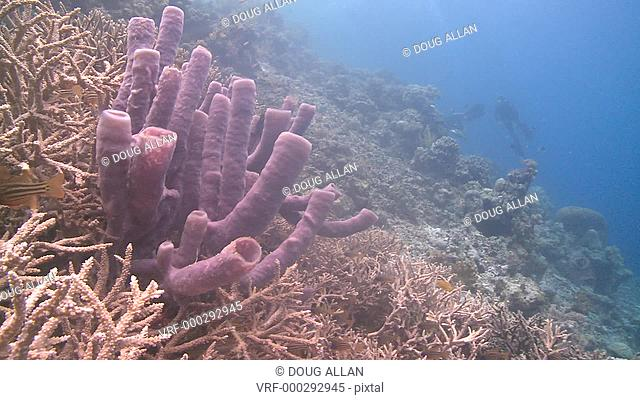 Divers/scientists viewing reef with large purple sponge (?) prominent