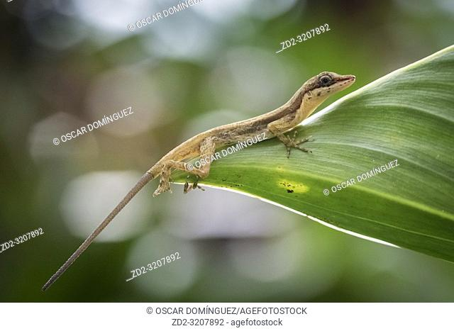 Slender Anole (Anolis fuscoauratus) on a leaf. Arenal Volcano National Park. Costa Rica