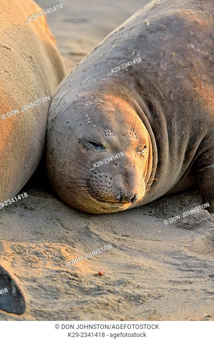 Northern elephant seal (Mirounga angustirostris) female on beach at breeding rookery, San Simeon, Piedras Blancas Rookery, California, USA
