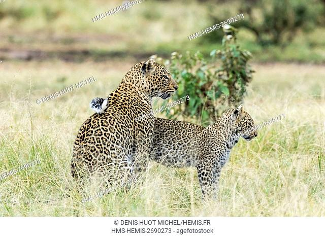 Kenya, Masai-Mara game reserve, leopard (Panthera pardus), female and her cub