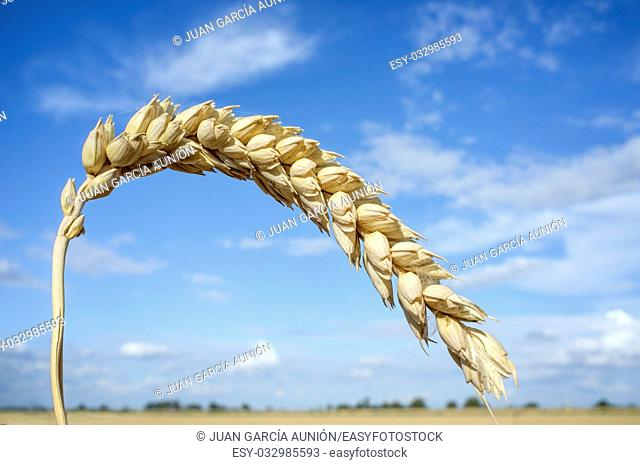 One grain ear at wheat field over blue sky. Closeup