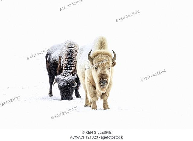 White Bison, or White Buffalo, Bison bison bison, in winter, a rare and sacred animal, Manitoba, Canada