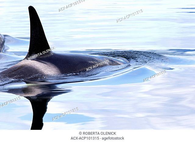 Orca (Orcinus orca), northern British Columbia. Canada