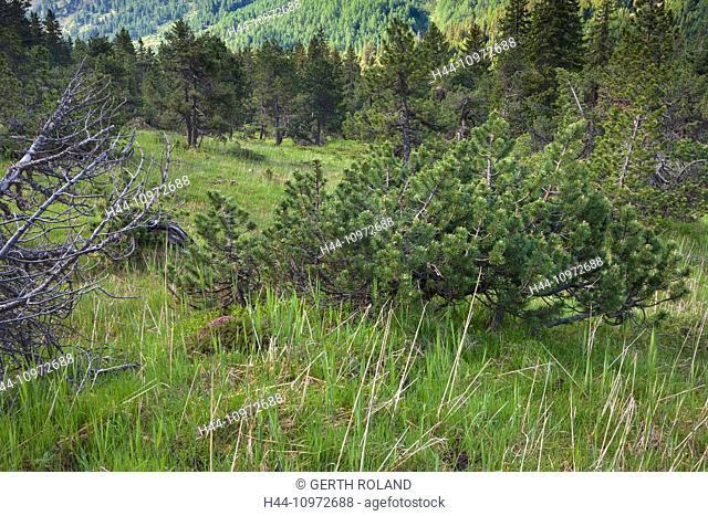 Alpe Casaccia, Switzerland, Europe, canton, Ticino, Lukmanierpass, stone pine, forest, wood