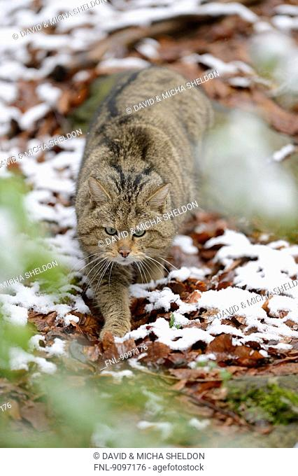 European wildcat in Bavarian Forest National Park, Germany