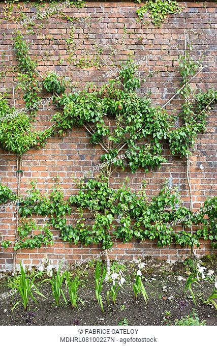 Arbres frutiers en espalier le long du mur en brique conservant la chaleur
