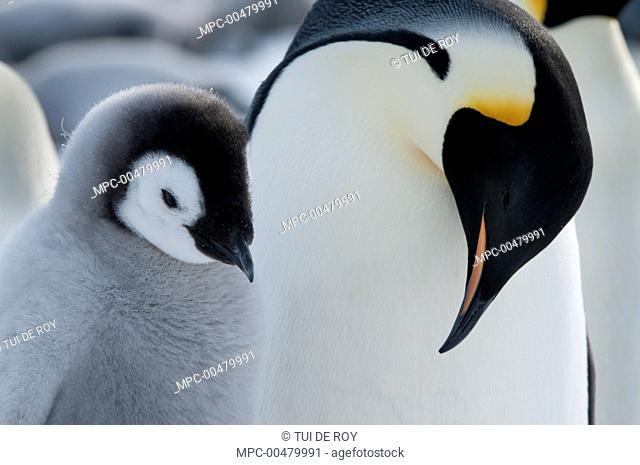 Emperor Penguin (Aptenodytes forsteri) greeting chick, Prydz Bay, eastern Antarctica