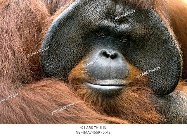An orang-utan, close-up, Indonesia