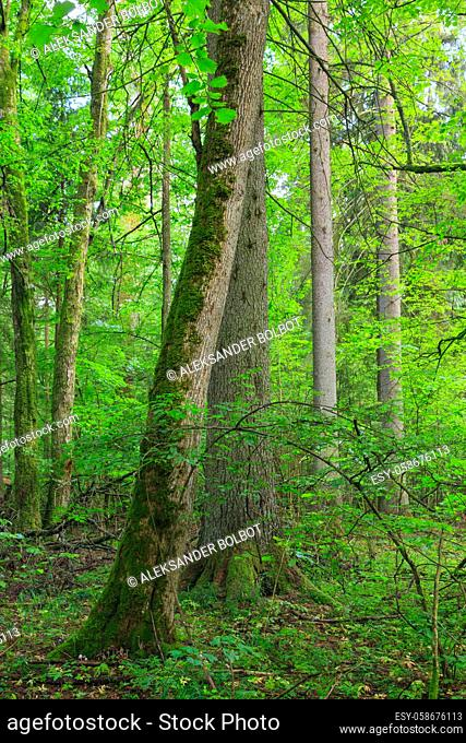 Natural mixed tree stand with some old trees, Bialowieza Forest, Poland, Europe