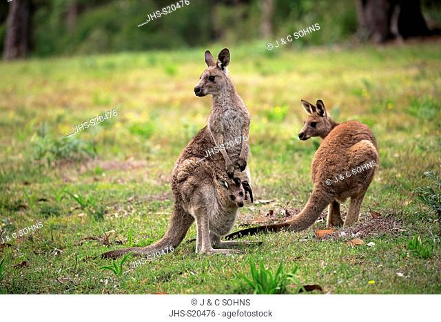 Eastern Grey Kangaroo, (Macropus giganteus), adult female with young looking out of pouch, adult with joey in pouch, Merry Beach, Murramarang Nationalpark