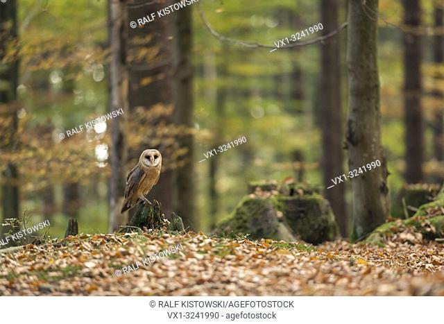 Barn Owl / Schleiereule ( Tyto alba ) perched on a rotten tree stub, in autumnal coloured open woods, Europe