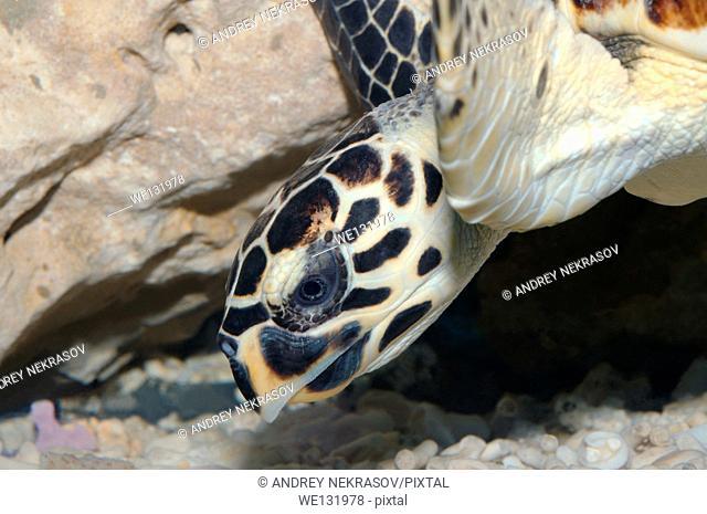 Portrait Hawksbill sea turtle (Eretmochelys imbricata), Red Sea, Hurghada, Egypt, Africa