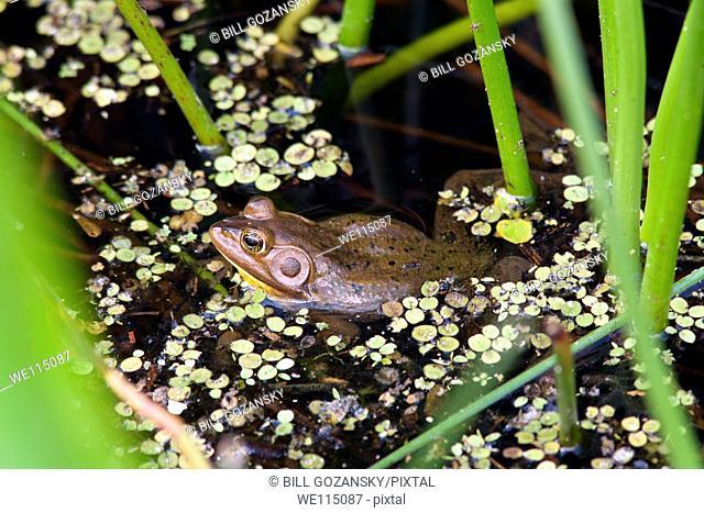Pig Frog - Green Cay Wetlands - Boynton Beach, Florida USA