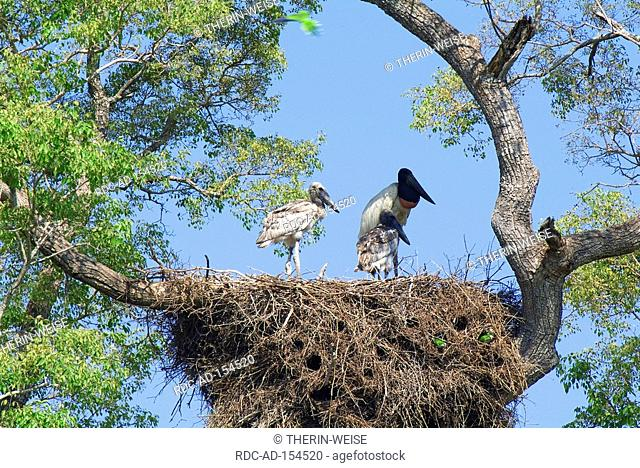 Jabiru Stork with youngs at nest Pantanal Brazil Ephippiorhynchus mycteria Jabiru mycteria