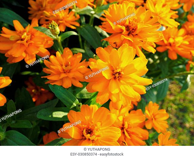 Marigold beautiful flower at the garden