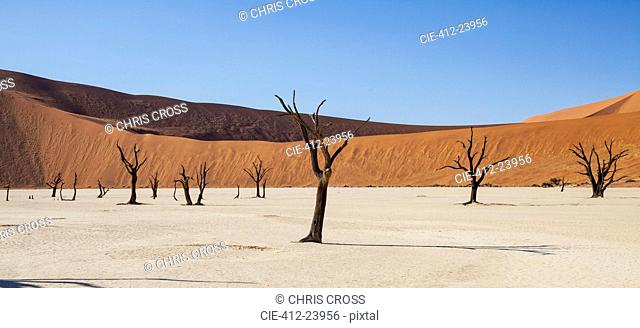 View of bare trees, sand dunes and blue sky in sunny desert