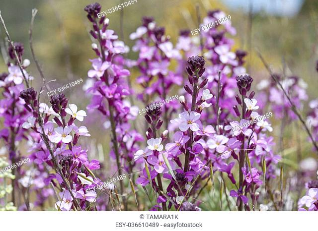 Flora of Gran Canaria - abundant flowering of Erysimum albescens, Gran Canaria wallflower