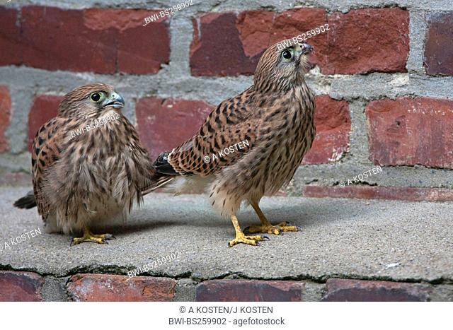 common kestrel Falco tinnunculus, squeekers on a wall, Germany