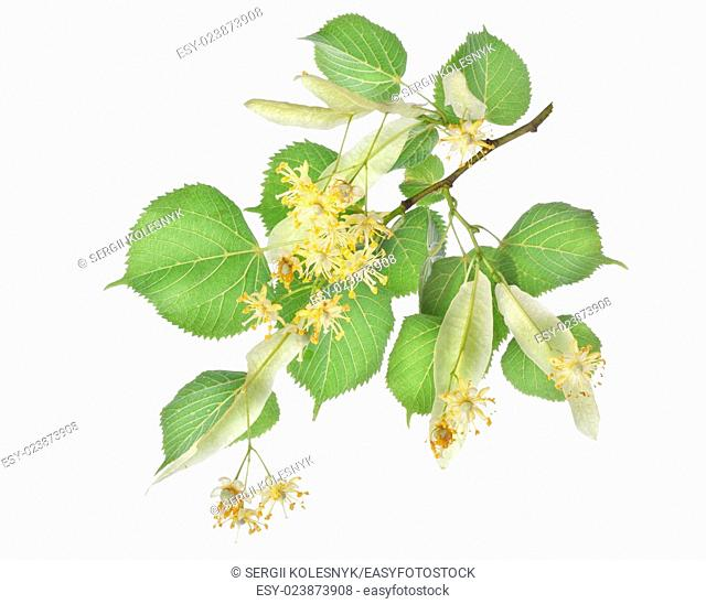 Flowers of linden-tree isolated on a white background
