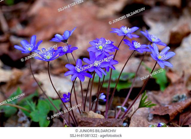 Liverwort (Hepatica nobilis), flowering plant. Sweden