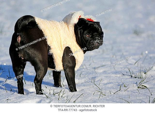 black pug in snow