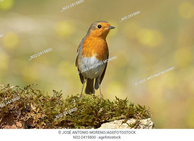 European robin (Erithacus rubecula), Benalmadena, Malaga, Andalusia, Spain